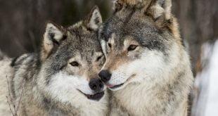 pereche frumoasa de lupi