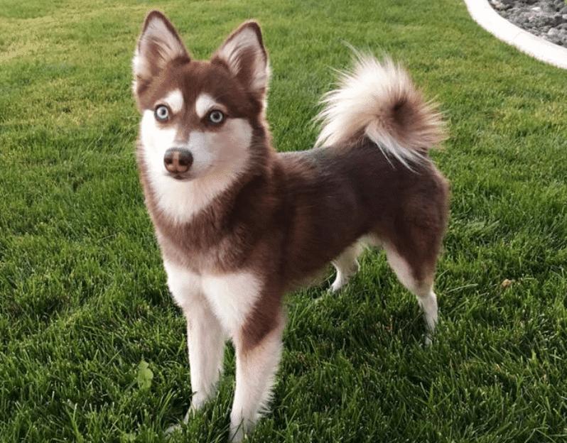 Alaskan Klee Kai – Husky pitic