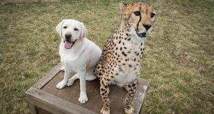caine si ghepard