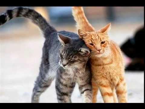 Dragostea pentru pisici