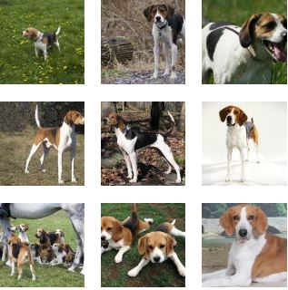 Poze American Foxhound