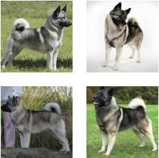 Poze Elkhound Norvegian