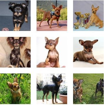 Poze Russkiy Toy Terrier