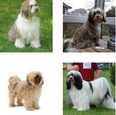 Poze Tibetan Terrier