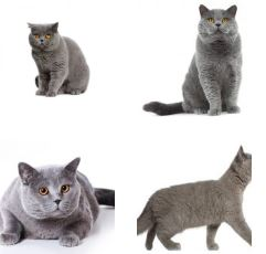 Poze Pisica British Shorthair
