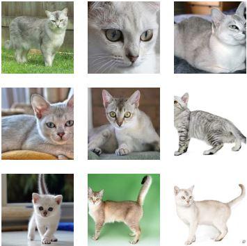Poze pisica Burmilla