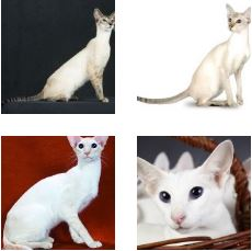 Poze Pisica Colorpoint Shorthair