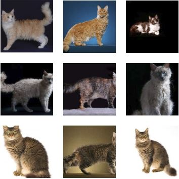 Poze pisica LaPerm