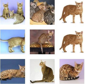 Poze pisica Ocicat
