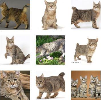 Poze pisica Pixie-Bob