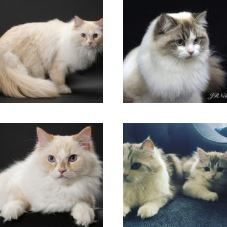 Poze pisica Ragamuffin