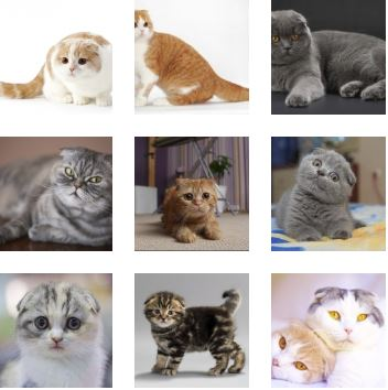 Poze pisica Scottish Fold