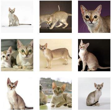 Poze Pisica Singapura