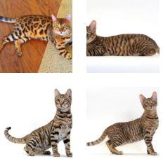 Poze pisica Toyger