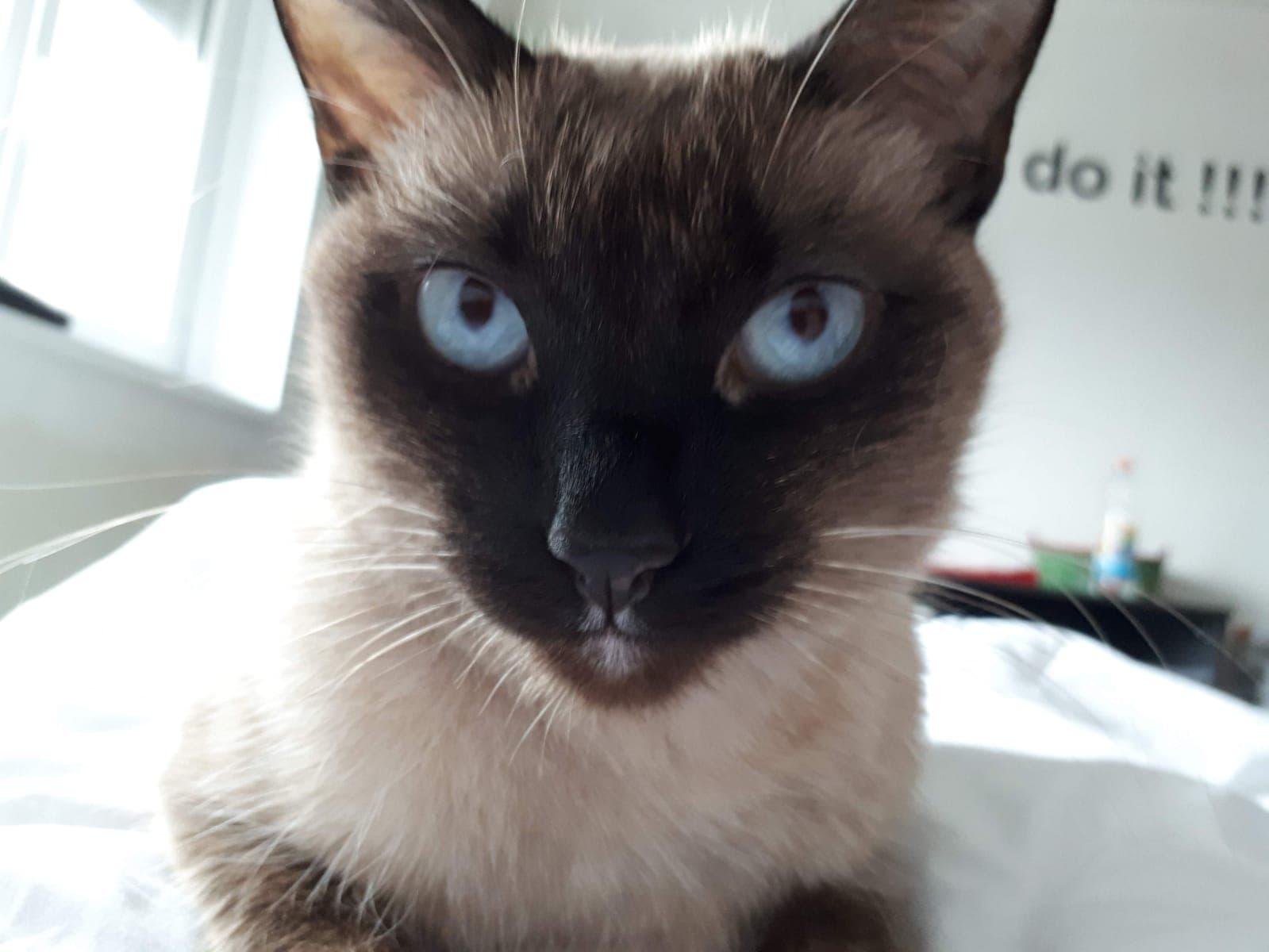 Rase de pisici cu ochi albastri