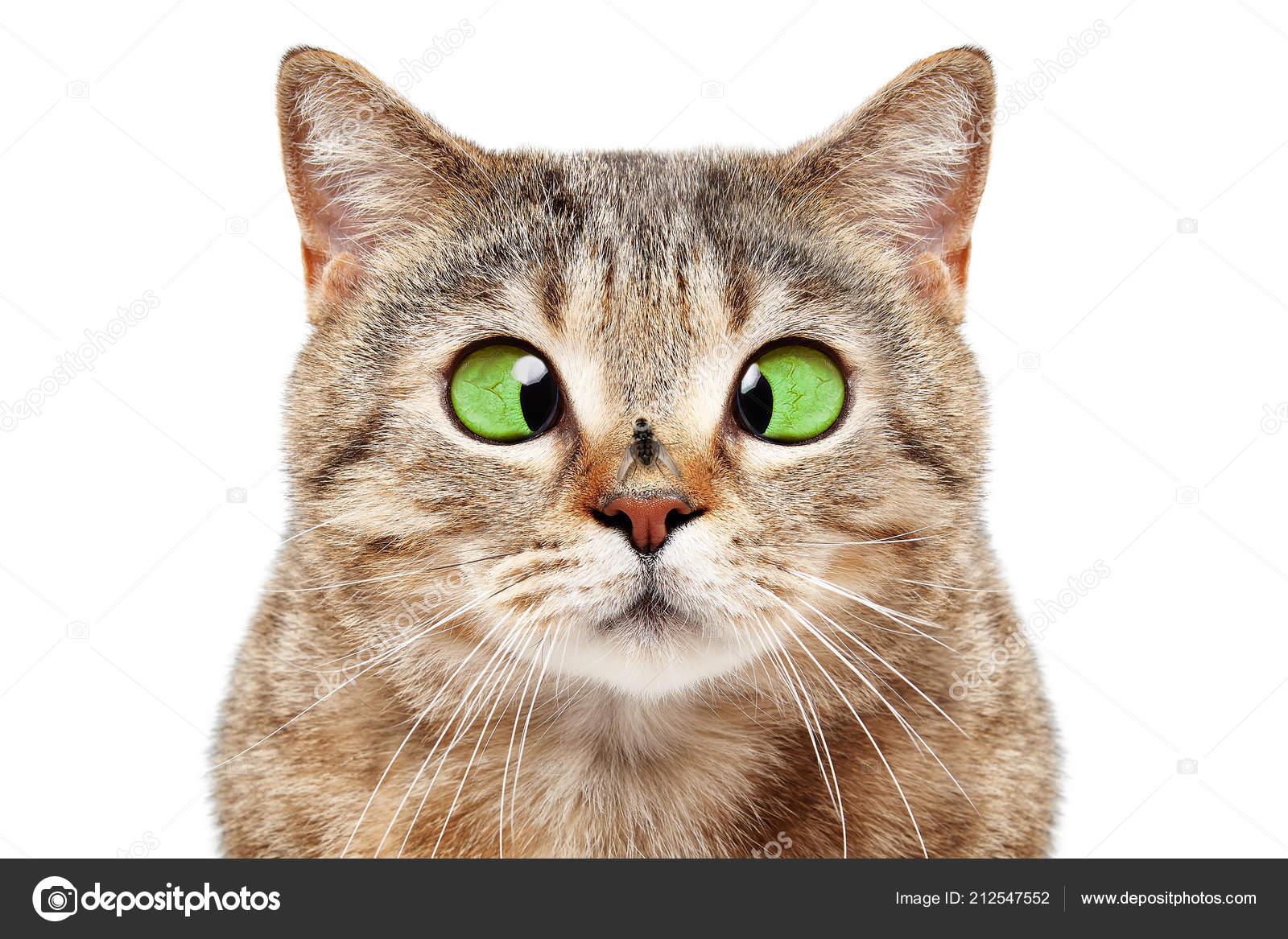 Strabism la pisici