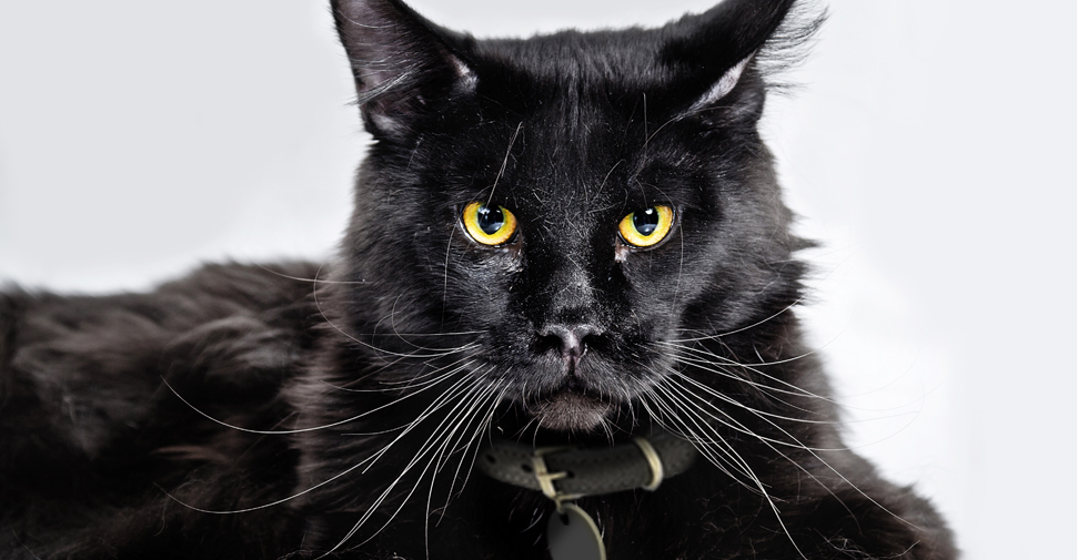 Rase de pisici negre