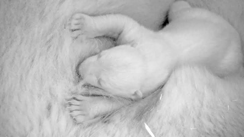 S-a nascut un urs polar