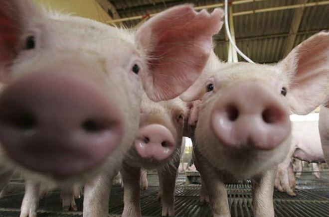 Tot ce trebuie sa stii despre pesta porcina: Aparitie, simptome, prevenire