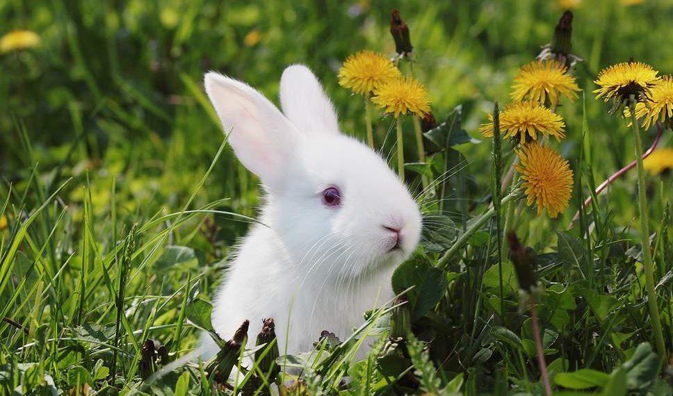 Curiozitati despre iepuri