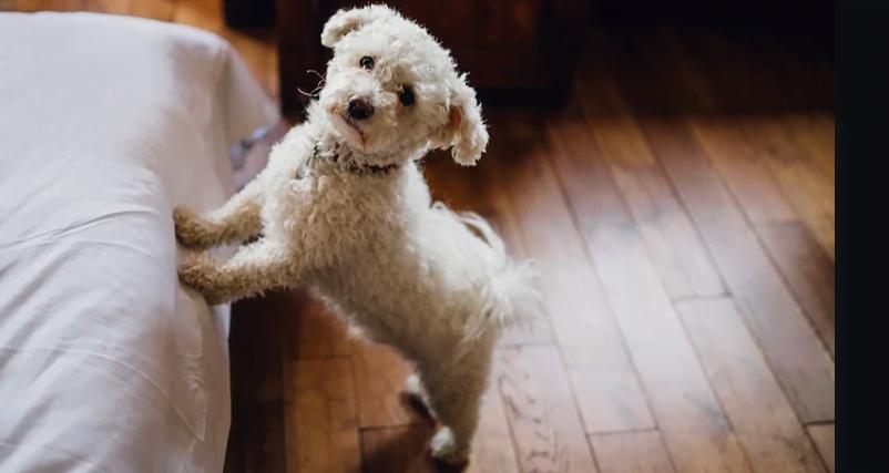 Top 8 caini de apartament care se adapteaza cel mai repede si mai usor la spatii restranse